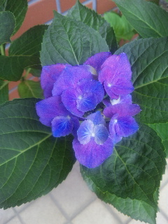 頑張れ☆紫陽花②