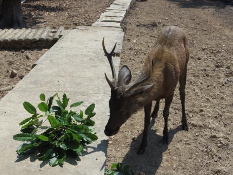 ホーチミンマングローブツアー鹿