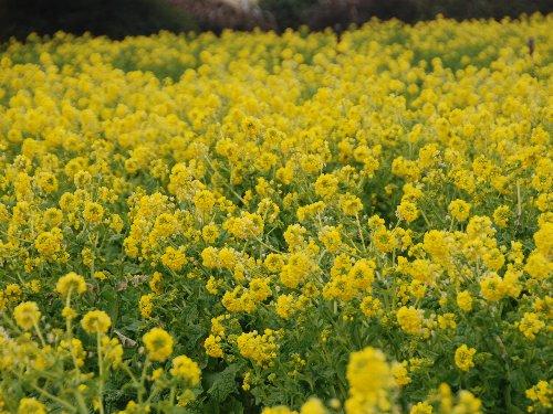 2011・02・05菜の花畑2