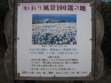 野母崎水仙園2