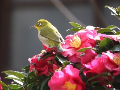 20110219mejiro002.jpg