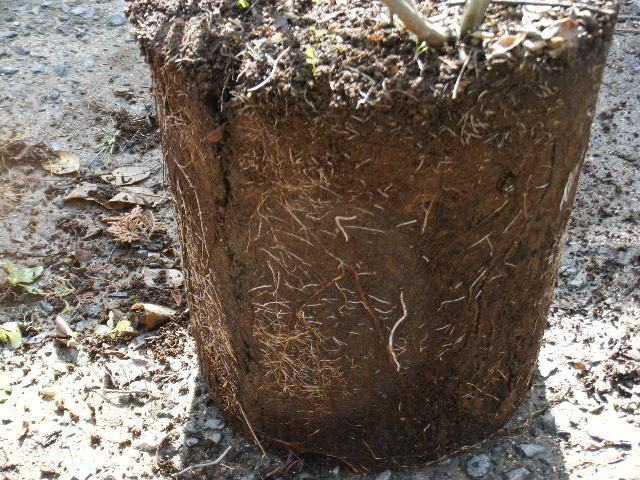 根の張り具合