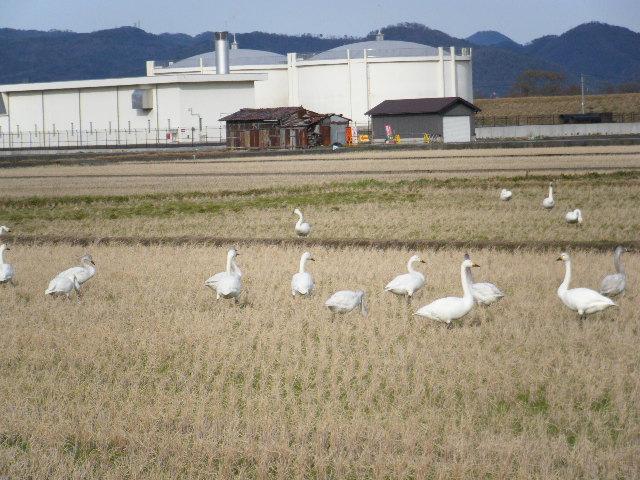 近所の田んぼに毎年、白鳥が訪れます。