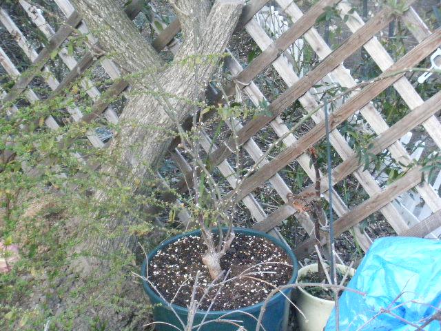 芽衣はまゆみの木の下に鉢植えで。