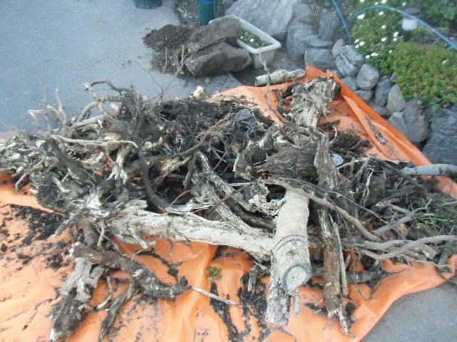 破壊した古い夾竹桃。
