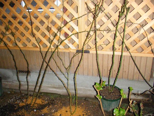 ロサ.ムリガニーはピエールの横に植えました。