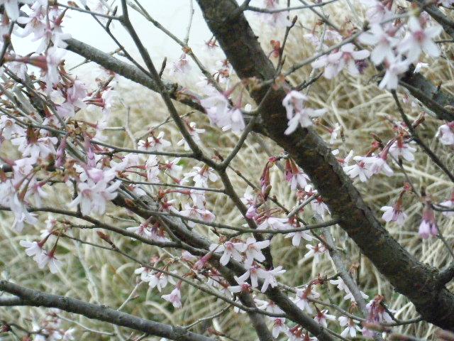 山桜も開花