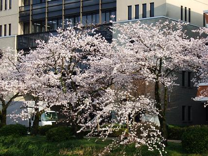 Cherryblossoms2011_002