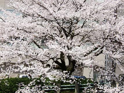 Cherryblossoms2011_003