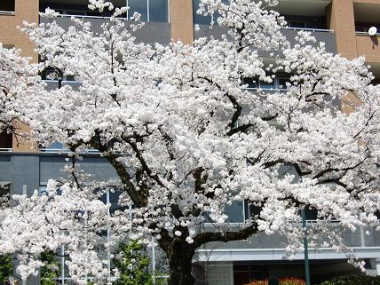 Cherryblossoms2011_012