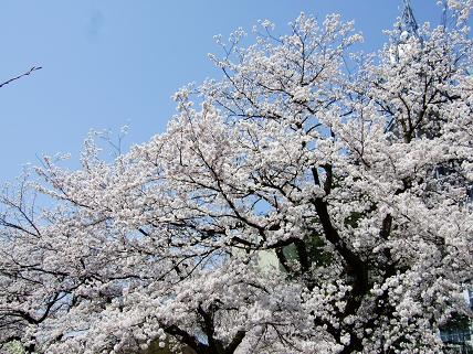 Cherryblossoms2011_013