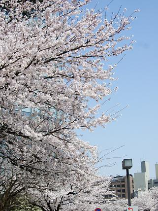 Cherryblossoms2011_015