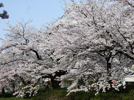 Cherryblossoms2011_027