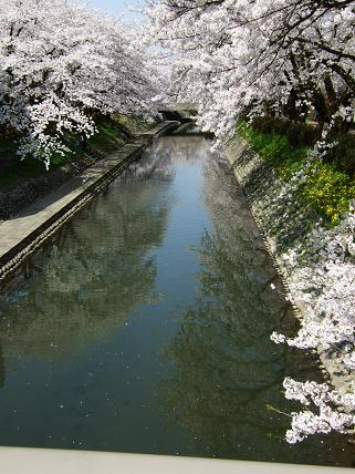 Cherryblossoms2011_029