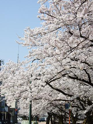 Cherryblossoms2011_031