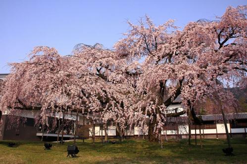 醍醐寺 霊宝館のしだれ桜