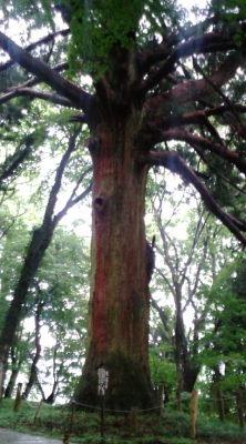 白河神社の木