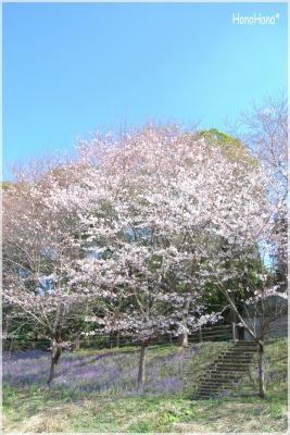 sakura20113.jpg