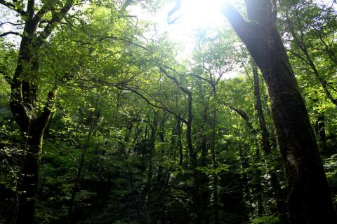 白神山地の深い森