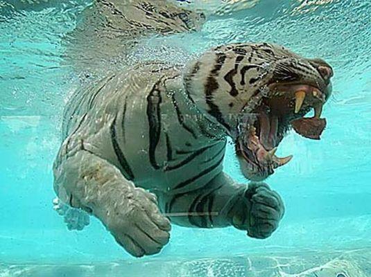 泳ぐ白虎3