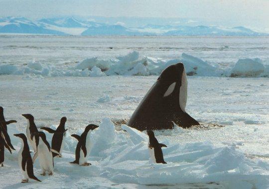 ペンギンの受難