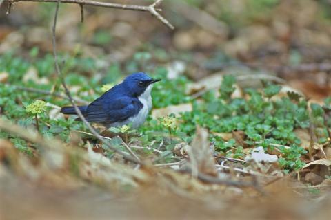 コルリ・オス・野鳥の森・5