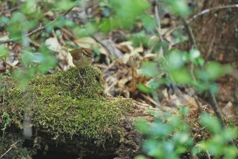 ヤブサメ・野鳥の森