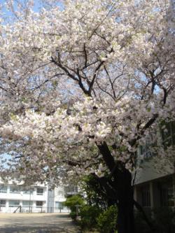 sakura-soto2.jpg