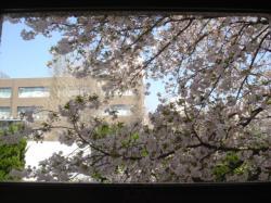 sakura-syoko2.jpg