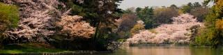 大池公園-桜