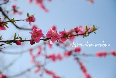 7花モモ2