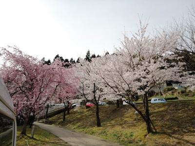 万葉菊花園の桜