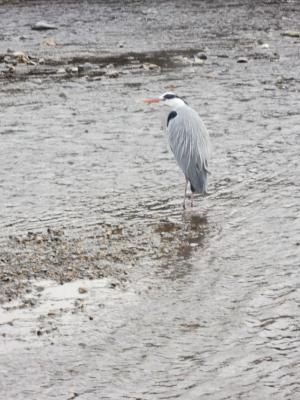 鴨川の五位サギ