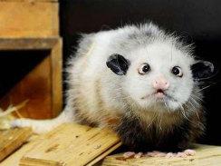 opossum-heidi2_244x183.jpg