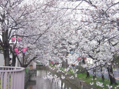 桜並木400