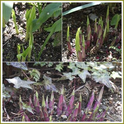 シラン&ギボウシの新芽