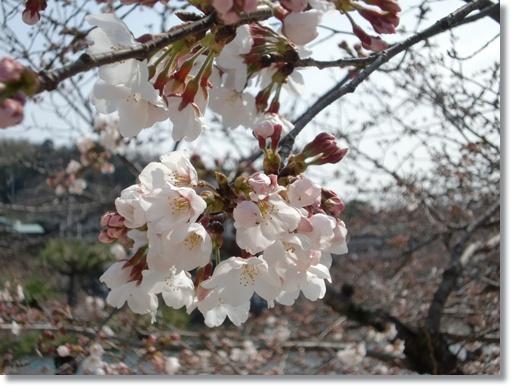 錦帯橋 の桜