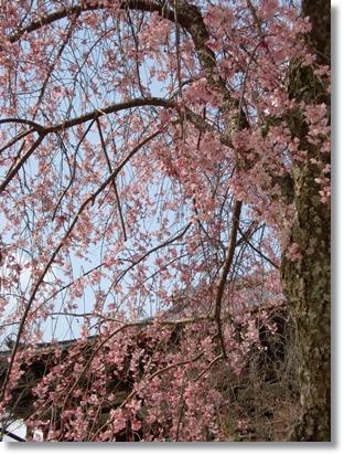厳島神社の枝垂れ桜