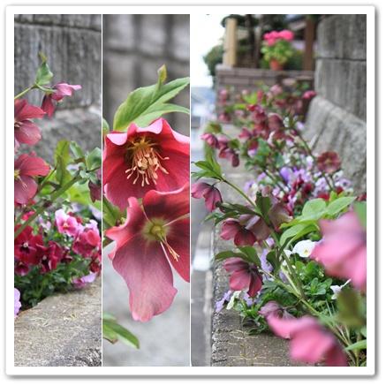 クリスマスローズの花壇 2