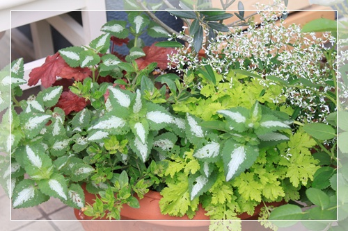 オリーブの寄せ植え2