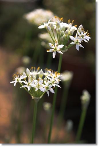 ニラの花2