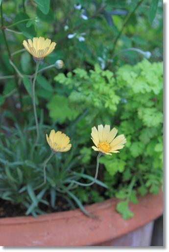 garden ヒメノキシス