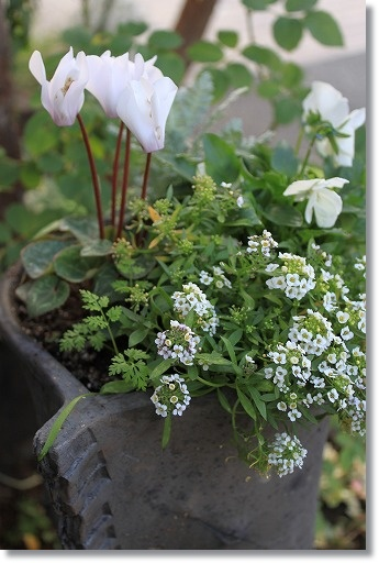 白い寄せ植え 2