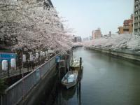 大横川護岸(牡丹町)の桜
