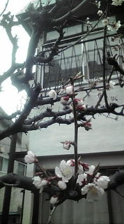 キノコ荘の梅