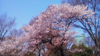 サクラ(新宿中央公園)