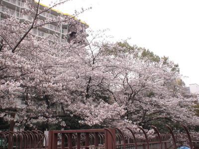 仙台堀川のサクラ