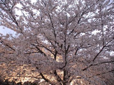 王子動物園 夜桜見学2