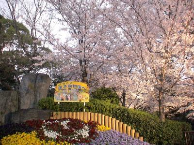 王子動物園 夜桜見学1