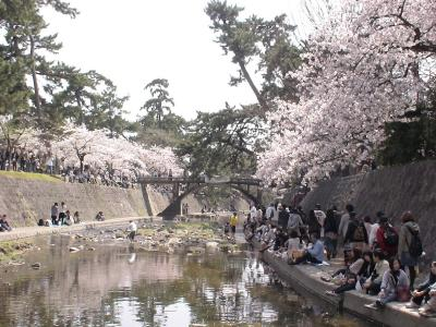 夙川公園のサクラ3